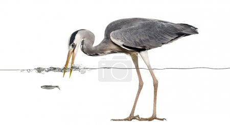 Side view of a Grey Heron fishing at the surface of the water, A