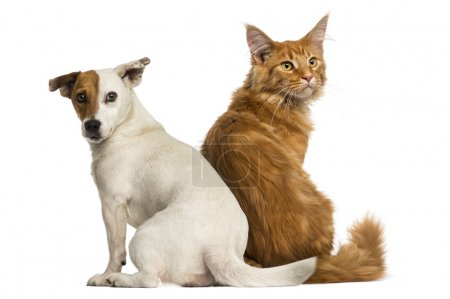 Rear view of a Maine Coon kitten and a Jack russell sitting and