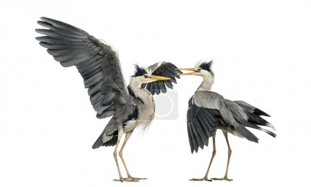 Photo for Two Grey Herons flapping - Royalty Free Image