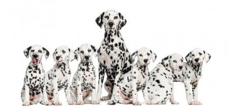 Mother Dalmatian sitting between her puppies...