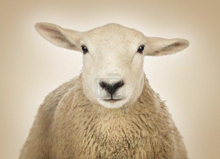 Photo pour Gros plan de tête de mouton devant un fond crème - image libre de droit