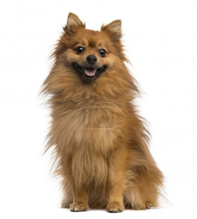 German Spitz (2 years old)
