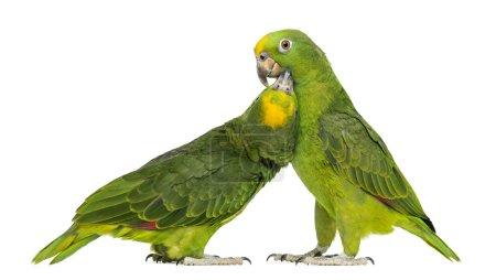 Photo pour Panama Amazone et Amazone jaune couronné picorer, isolé sur blanc - image libre de droit