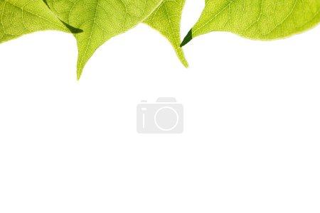 Photo pour Feuilles vertes en plein soleil, isolé - image libre de droit