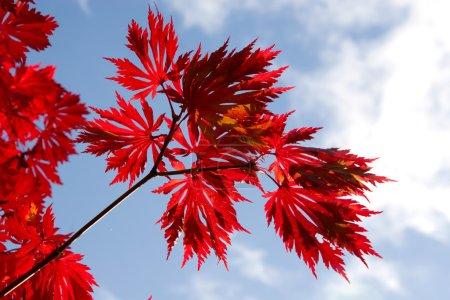 Photo pour Feuilles d'érable d'automne contre le ciel bleu - image libre de droit
