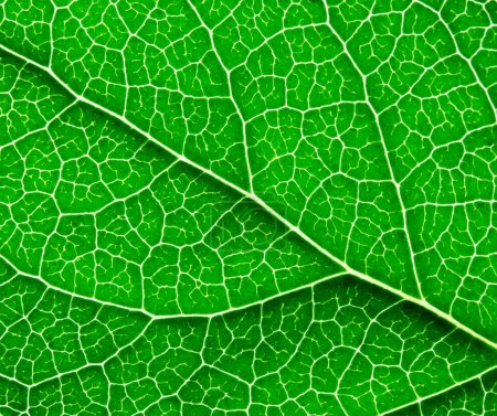 Surface of the green leaf