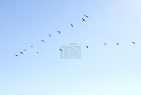A flock of cranes in the sky...