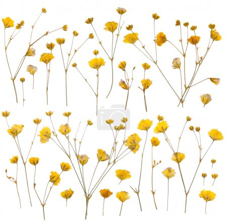 Pressed yellow wildflowers isolated on white