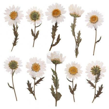Pressed daisy flowers isolated on white background