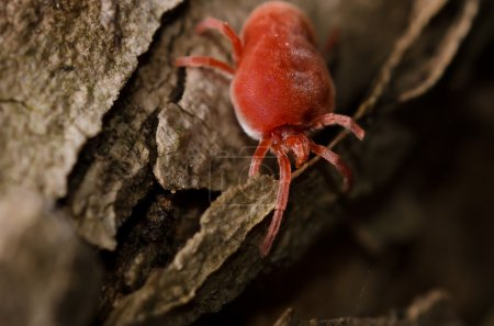 Red tick