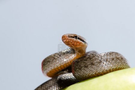 Photo for A snake coiled on an apple against a white background - Royalty Free Image