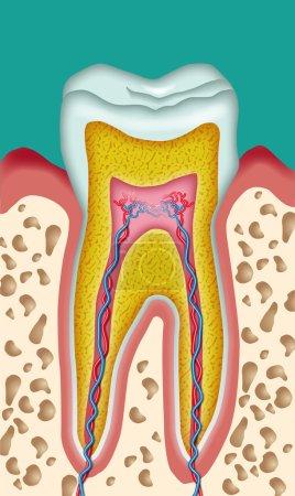 Illustration pour Section d'une découpe schématique de dent - image libre de droit