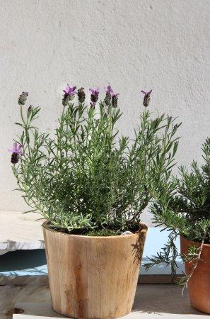 Photo pour Romarin, lavande et autres herbes dans le pot - image libre de droit