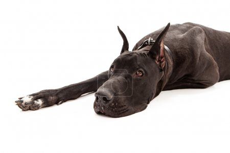 Photo for A large black Great Dane dog with cropped ears laying down against a white background. - Royalty Free Image