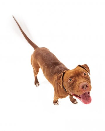 Photo for A happy red Pit Bull dog with intentional motion blur showing his tail wagging as he is looking up with a smile - Royalty Free Image