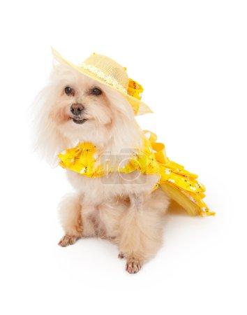 Poodle Dog in Spring Dress