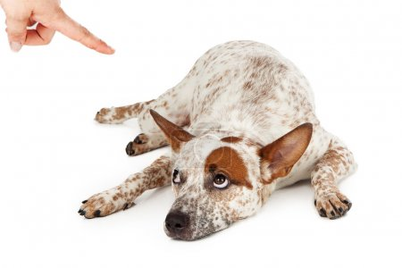 Cattle Dog Being Punished