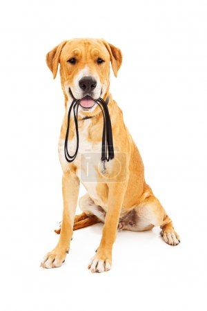 Labrador Retriever With Leash in Mouth