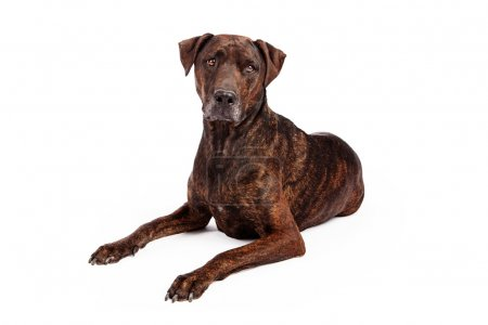 Labrador Crossbreed With Brindle Coat