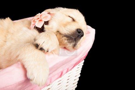 Puppy Sleeping in Pink Basket