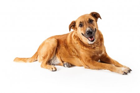 Photo for A happy adult large mixed breed golen color dog laying down with a smile on his face - Royalty Free Image