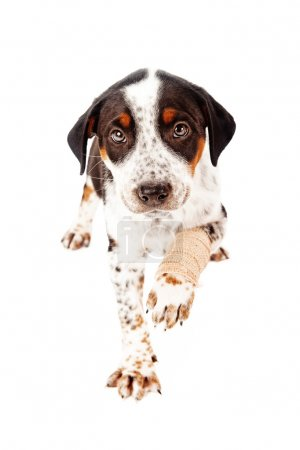 Mixed Breed Puppy With Broken Paw