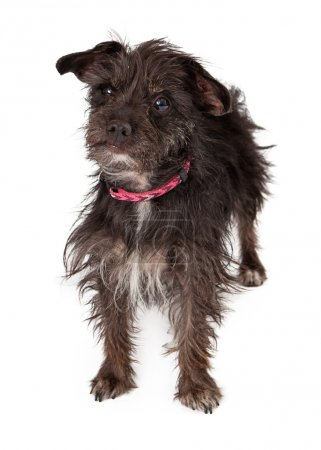 Terrier Mixed Breed