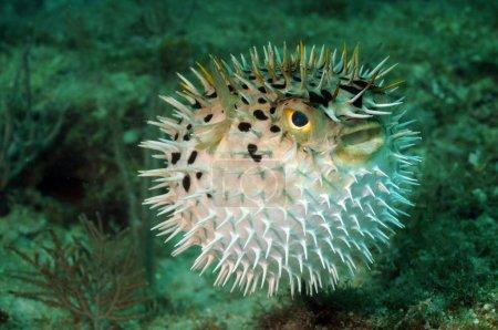 Blowfish or puffer fish underwater in ocean...