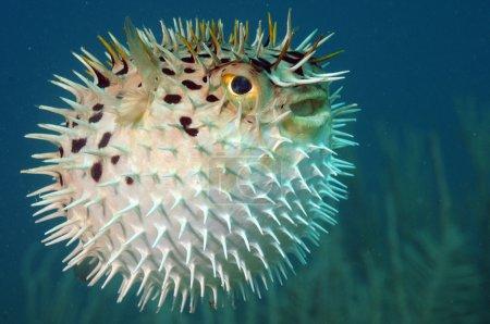 Blowfish or diodon holocanthus underwater in ocean...