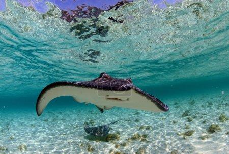 Photo pour Aigle tacheté et raie manta dans l'océan tropical - image libre de droit