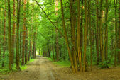 dense summer forest and the road