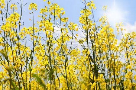 Photo pour Champ de colza avec beau nuage - plante pour l'énergie verte.fleurs d'huile dans le champ de colza avec ciel bleu et nuages.Champ jaune colza en fleur avec ciel bleu et blanc - image libre de droit