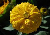 žluté kapky