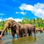 Elephant group in the river, Sri Lanka...