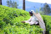 Výběr ženské čaje v čajové plantáže