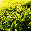 Field of green tea bud and leaves...