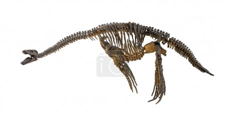 Plesiosaurus skeleton isolated