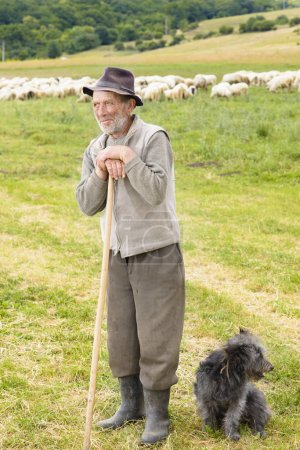 Old shepperd man with his dog near flock...