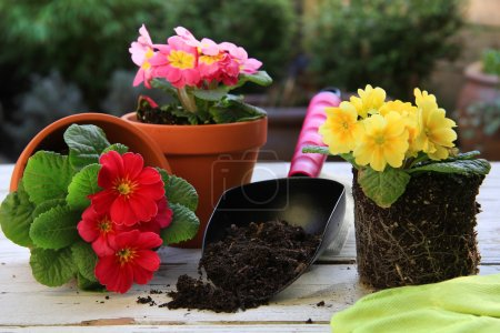 Photo pour Printemps Primula fleurs et jardinières . - image libre de droit