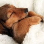 Longhair dachshund puppy sleeping in her bed....