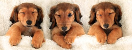 Photo for Three dachshund puppies in bed. Three is a crowd concept. - Royalty Free Image