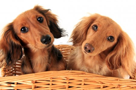 Photo pour Two dachshund puppies in a basket. I asked them if they wanted a treat, and these are the faces they gave me. - image libre de droit