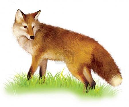 Photo pour Renard roux debout dans l'herbe. fox shaggy adultes. illustration sur fond blanc. - image libre de droit