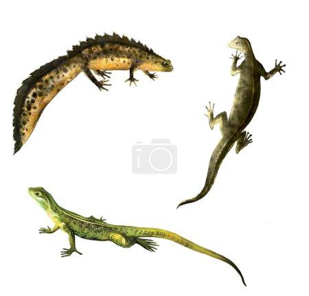 Green lizard, Newts family: male and female newt. amphibian salamander