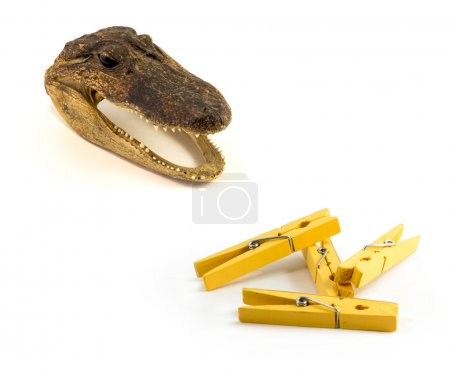 A close up image of a preserved baby alligator head - a common trinket, Yellow Clothes pin on the white background
