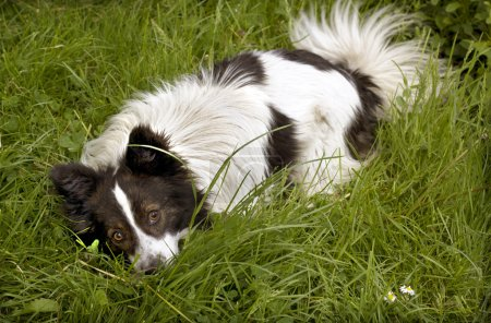 White and black dog eating a bone on grass
