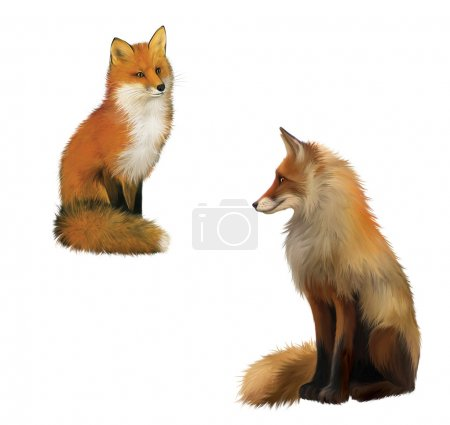 Photo for Adult shaggy red Fox sittng with big fluffy tail. Isolated Illustration on white background. - Royalty Free Image
