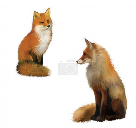 Photo pour Sittng Adult shaggy red fox avec grosse queue duveteuse. illustration isolée sur fond blanc. - image libre de droit