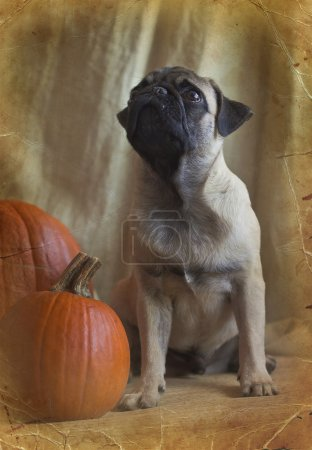 Pug and a pumpkin