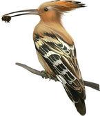 Hoopoe with bug in beak isolated on white background